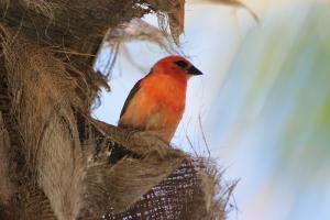 Mauritian cardinal