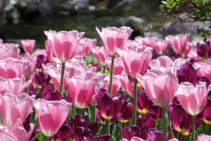 Tulips in the Gardens of Trauttmansdorff Castle