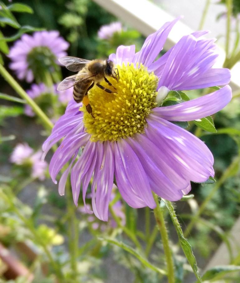 L'ape che si gusta la mia margheritina